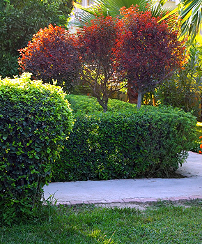 Murrieta Hedge and Shrub Trimming Service